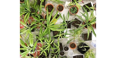 Photograph of houseplants including Spider plants and Mother of Thousands.