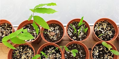 Photograph of seedlings in small pots.
