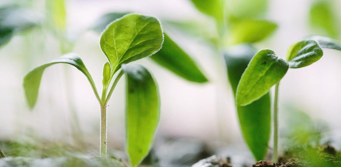 Photograph of baby plants growing out of soil