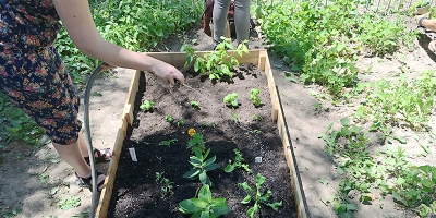 Photograph of a volunteer watering herbs and vegetables in raised garden bed.