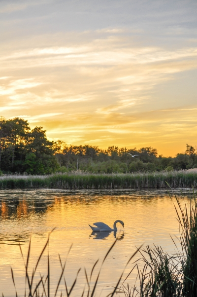 Swan in front of a sunset