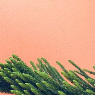 image of a pink texture wall with a evergreen tree at the base of the image.