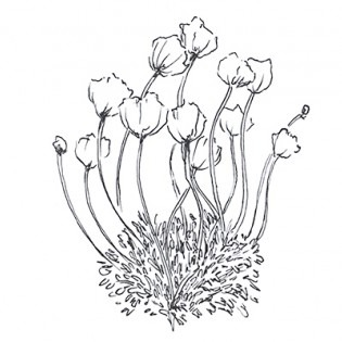 Black and white drawing of wildflowers.