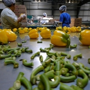 Photo of peppers on a table with workers in the background