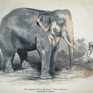 P. T. Barnum's white elephant Toung Taloung