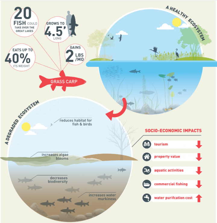 graphic of ecosystems degradation due to Asian Grass Carp